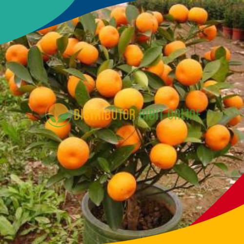Foto Produk Bibit buah jeruk santang madu super dari Distributor Bibit Online