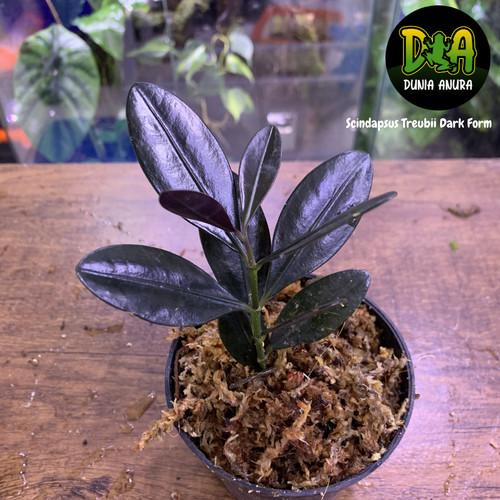 Foto Produk Tanaman Vivarium Chilocarpus sp borneo dari Dunia Anura