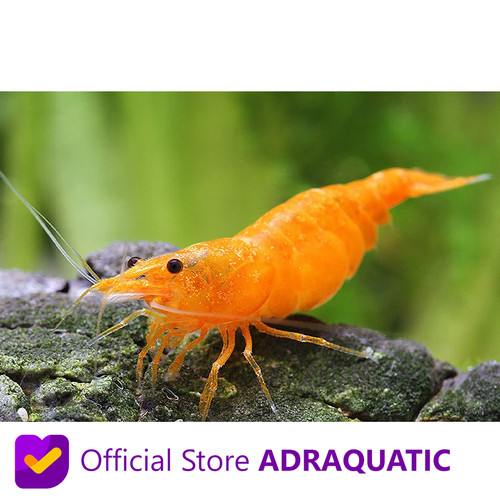 Foto Produk UDANG HIAS ORANGE FIRE CHERRY SHRIMP NEOCARIDINA AIR TAWAR dari ADRAQUATIC