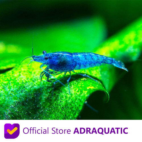 Foto Produk UDANG HIAS BLUE CHERRY SHRIMP NEOCARIDINA AIR TAWAR dari ADRAQUATIC