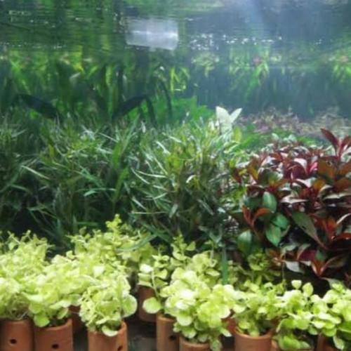 Foto Produk tanaman pot aquascape per 10 pot dari aquascape azmy azalia