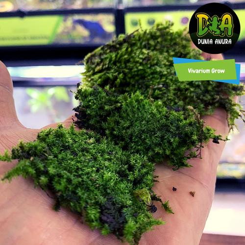 Foto Produk Forrest moss Herzogiella Striatella dari Dunia Anura