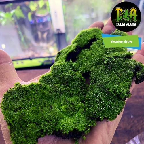 Foto Produk Forrest Moss Star dari Dunia Anura