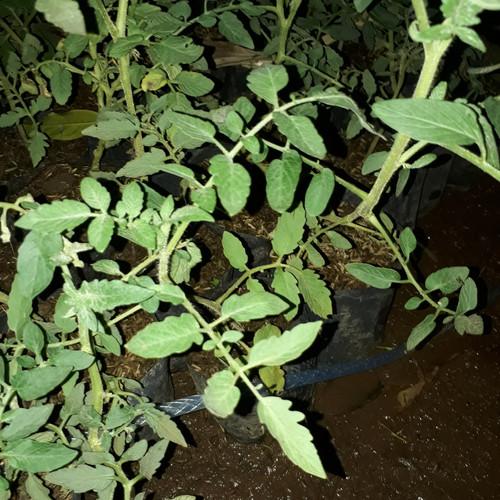 Foto Produk Pohon Tomat Bibit Tomat Sayur Tanaman Hidup dari ORIGINAL FLORA