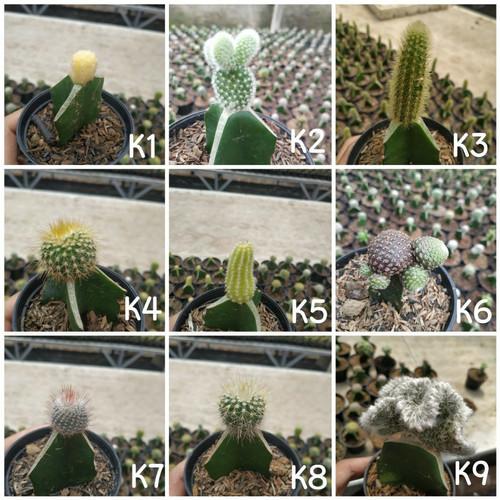 Foto Produk (RANDOM) kaktus mini sekulen dari Imahkaktus