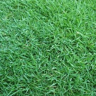 Foto Produk rumput golf malang rumput jepang malang harga murah siap tanam dari rumput gajah mini 10rb