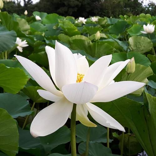 Foto Produk Paket Biji Lotus 3 Warna (Isi 15) dari Kantong Semar Sby