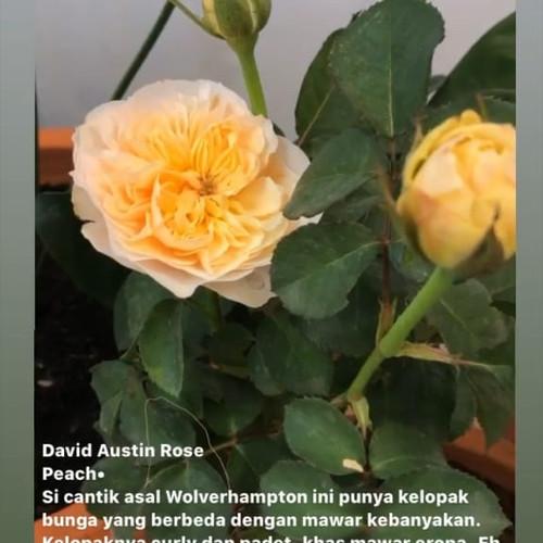 Foto Produk David austin Rose - peach (juliet) dari The Jungle Truck