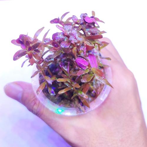 Foto Produk tanaman aquascape full air rotala hra dari ONDOFISH