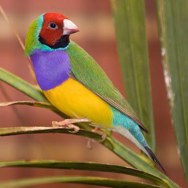 Jual Burung Emprit Finch Pipit Gould Amandine Australia Kota Depok Gie Kelontong Tokopedia