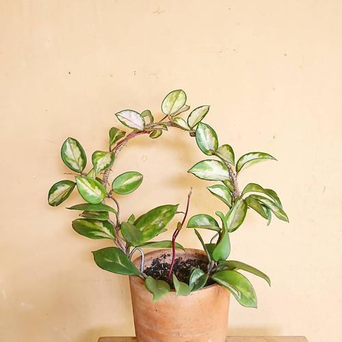 Foto Produk Tiang tanaman hoya / tralis kawat / kawat tanaman hoya / tiang tanaman - mini dari tanaman.qu