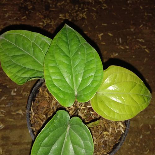 Foto Produk pohon anturium sirih dari cv flora karya utama