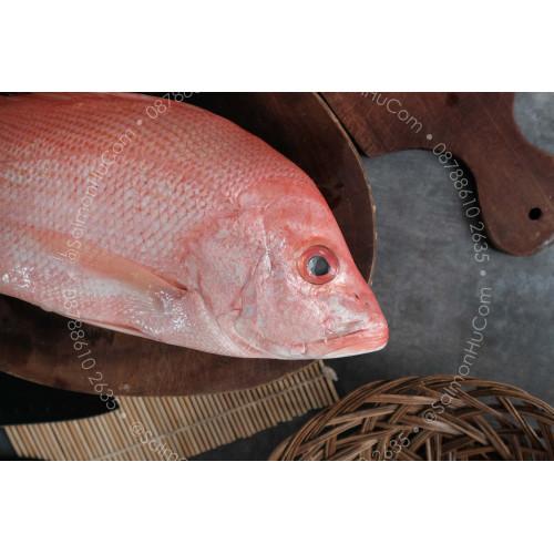 Foto Produk Kakap Merah SEGAR - Kualitas Super Ukuran 900gr sd 1.100gr dari Salmon Hu Jakarta