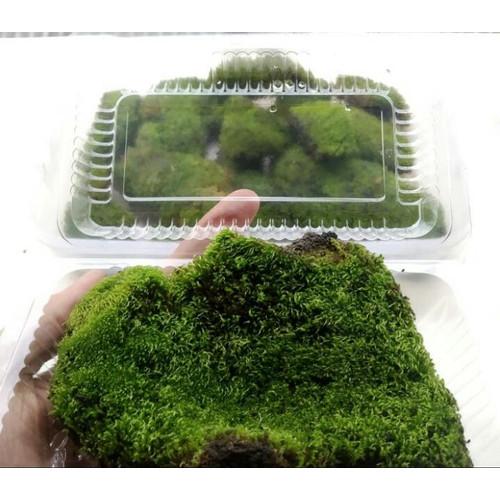 Foto Produk Star moss Moss paludarium Moss terrarium Moss vivarium dari aquascape azmy azalia