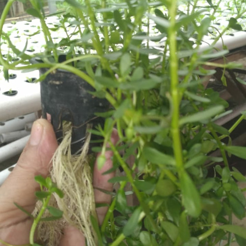 Foto Produk Bacopa Monnieri tanaman aquascape dari energzewatercom