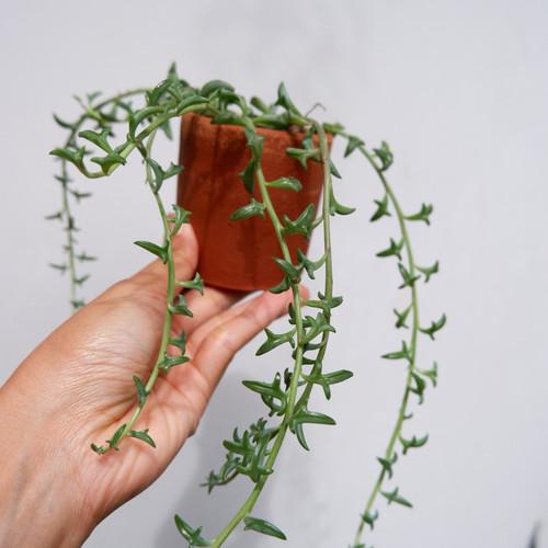 Foto Produk String of Dolphins, tanaman cantik bentuk lumba-lumba - S dari Grow and Grow