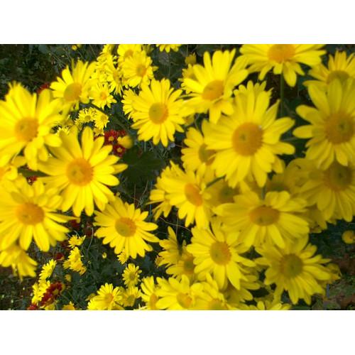 Foto Produk Tanaman Hias Krisan Berbunga Cantik Murah - Aster Kuning dari bibit buah kemarin sore