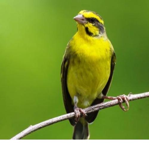 Jual Burung Mozambik Import Pilihan Jakarta Timur Rafqi Bs Tokopedia