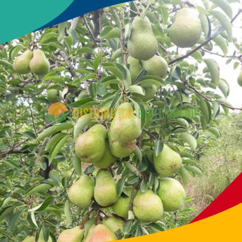 Foto Produk Bibit pear hijau cepat berbuah dari Distributor Bibit Online