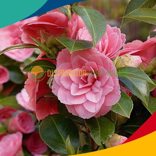 Foto Produk Bibit bunga camelia warna ping dari Distributor Bibit Online