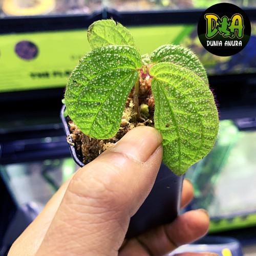 Foto Produk Tanaman Vivarium Sonerila Green WhiteSpot dari Dunia Anura