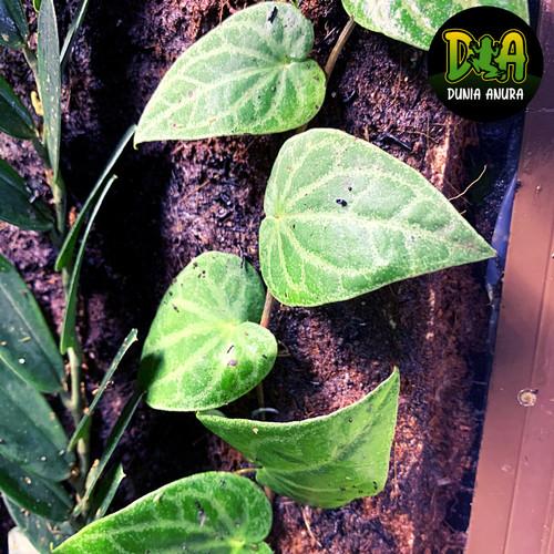 Foto Produk Tanaman Vivarium Piper Sp Sumatera dari Dunia Anura