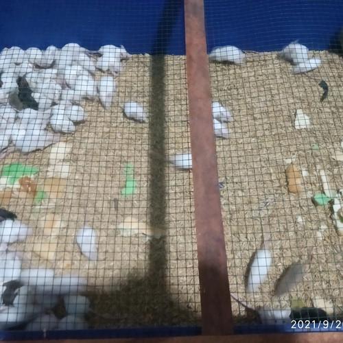 Foto Produk tikus putih mencit jumper dari juragan tikus