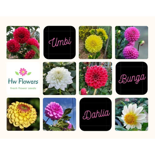 Foto Produk Umbi Bunga Dahlia Jumbo Fresh - Mixed dari Hw_Flowers