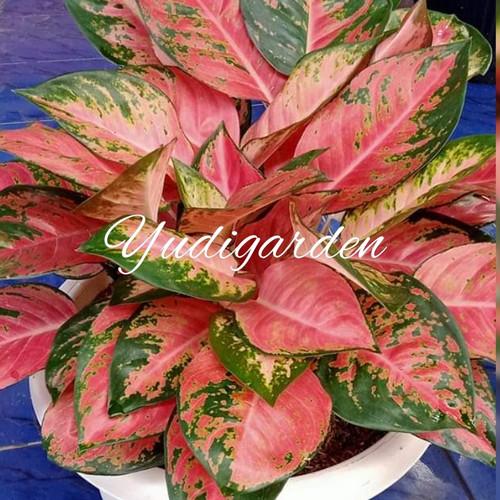 Foto Produk bunga aglonema/aglonema /aglonema red kocin dewasa dari yudigarden