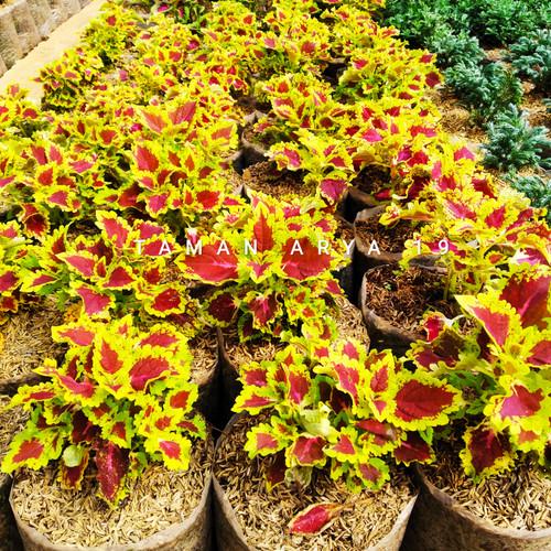 Foto Produk Tanaman hias miana - Kuning dari TAMAN ARYA 19