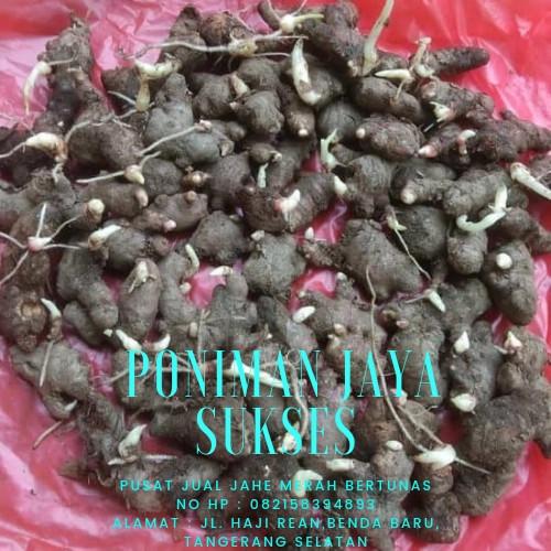 Foto Produk bibit jahe merah bertunas 1 kg dari Poniman Jaya Sukses