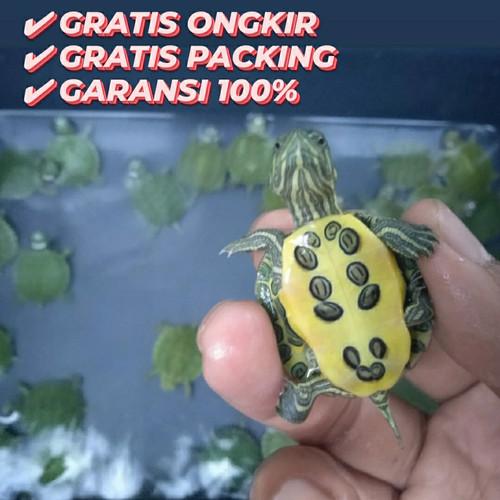 Foto Produk brazil / kura res dari Fun Pets & Store