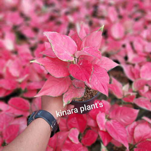 Foto Produk aglaonema pink catrina dari KINARA PLANTS