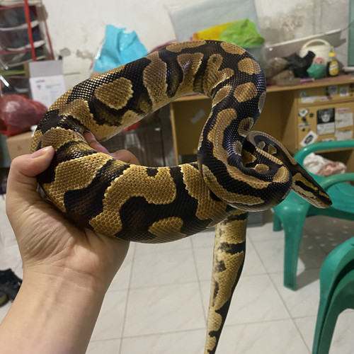 Foto Produk Ballpyton yellow belly dari Doggy_Medan