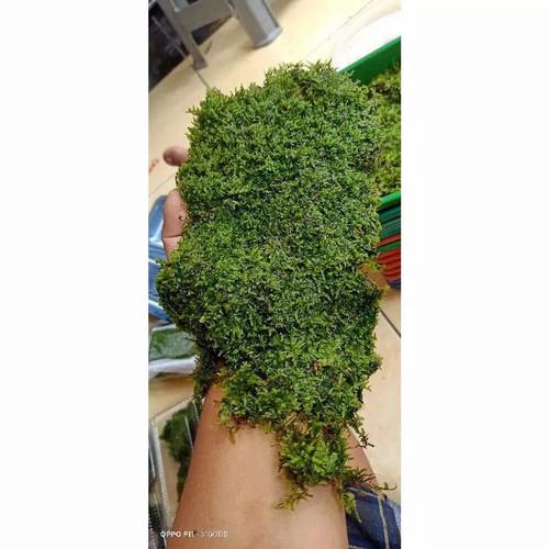 Foto Produk Moss Weeping Clumb Aquascape dari aquascape azmy azalia