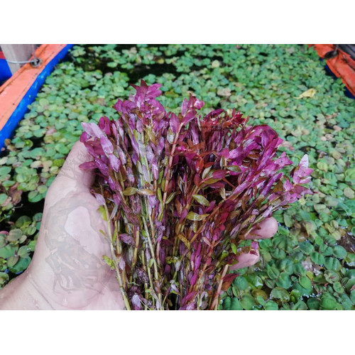 Foto Produk Tanaman Aquascape - Rotala Rotundifolia Red/HRA (Per Batang) dari Oriens-Shop