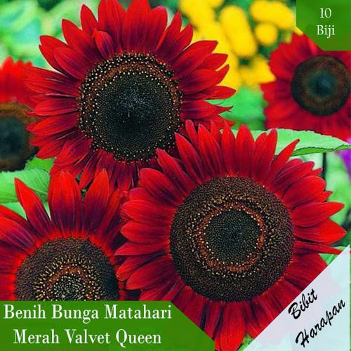 Foto Produk Bibit Benih Biji Bunga Matahari Merah Valvet Queen Sun Flower - Valvet Queen dari Bibit Harapan