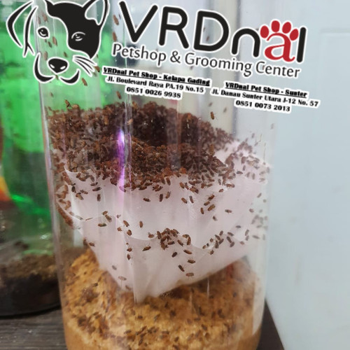 Foto Produk Drosophila Melanogaster Fruit Fly Culture. (ready stock) dart frog dari VRDnal Petshop - Kelapa Gading