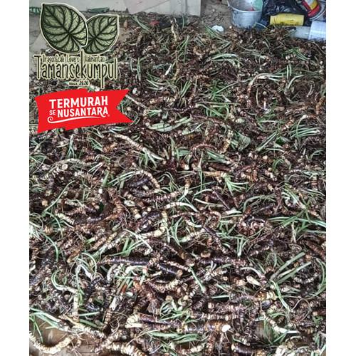 Foto Produk Bonggol Alokasia Dragon Scale/Silver Campur Termurah dari TamanSekumpul