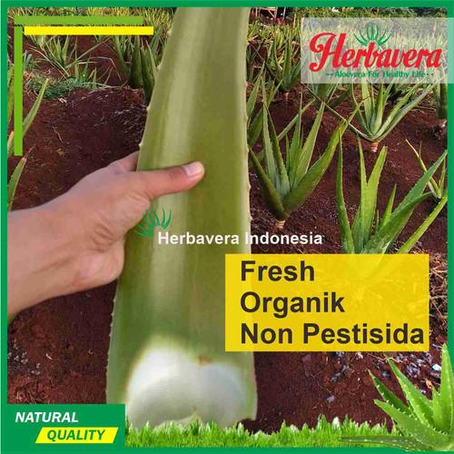 Foto Produk Pelepah/Batang Lidah Buaya (aloevera) dari Herbavera Indonesia