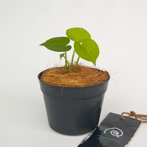 Foto Produk Anthurium Clarinervium 'Tarantula' - Tanaman hias koleksi / houseplant - XS dari Habitart nursery