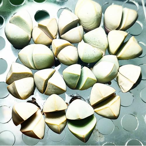 Foto Produk lapidaria margaretae sukulen jewel plant dari Biji Benih