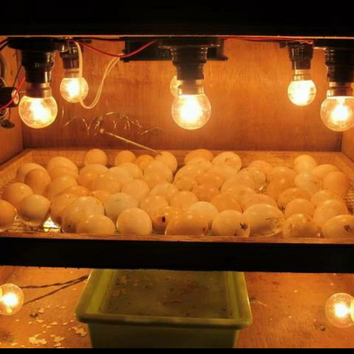 Foto Produk Chiyoda Dop Pijar 5W 5 Watt / Lampu Pijar Kuning Panas Lampu Ayam dari ElectricalMART ID