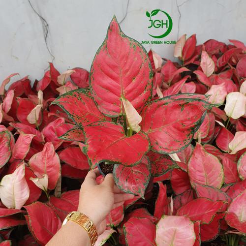 Foto Produk Aglonema Red Anjamani Besar dari Jaya Green House