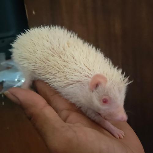 Foto Produk landak mini albino. umur 1,5 bulan dari kalimeris-landakmini