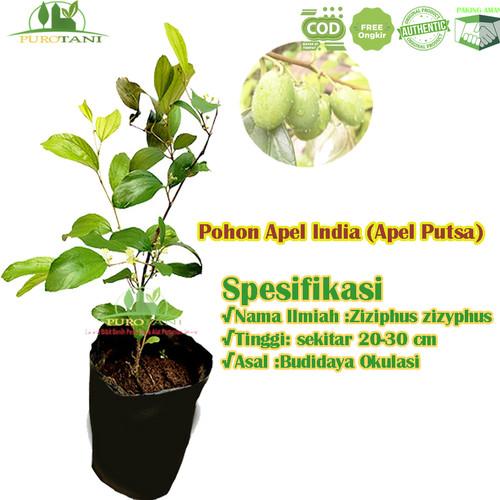 Foto Produk Pohon Tanaman Apel Putsa Bibit Apel India Futsa dari Purotani.ID