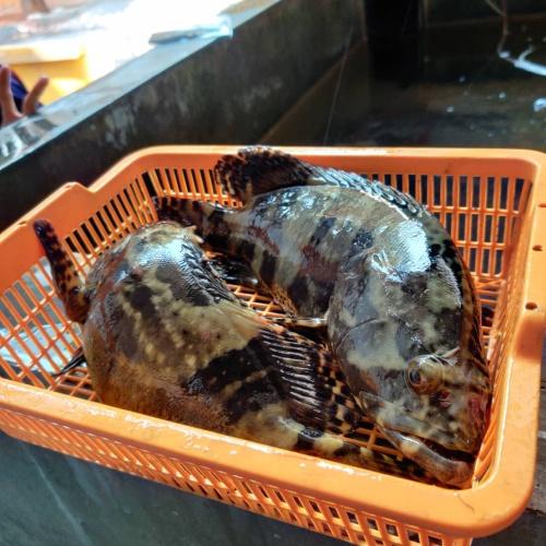 Foto Produk Kerapu Bunga / Cantang Live Ukuran Super (Hidup) Seafood - 0.5-0.6Kg dari Sinar Laut Jaya SLJ