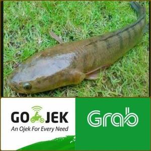 Jual Ikan Gabus Konsumsi Segar 1kg Isi 2 3 Ekor Hidup Kirim Cxvbwx Kota Bogor Usna Safiraa Tokopedia