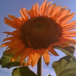 Foto Produk Sun Gold sunflower (seed) dari 2R Sunflower Seeds