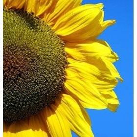 Foto Produk Mongolian Giant Hybrid (Seed) dari 2R Sunflower Seeds
